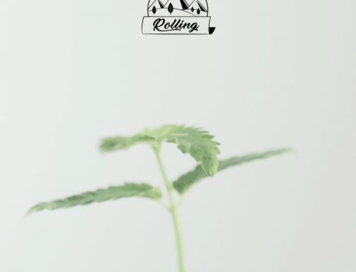 Coltivare cannabis in casa è un reato. Non fermiamoci ai titoloni.